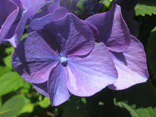 hydrangea-petal-blog